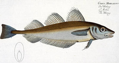 Angling Drawing - Whiting by Andreas Ludwig Kruger