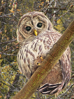 Who Who Are You Barred Owlet Print by Jennie Marie Schell