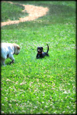 Dachshund Puppy Digital Art - Whos This by Kathy Sampson