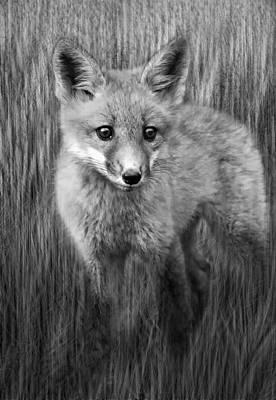Fox Photograph - Wild And Free Monochrome by Steve Harrington