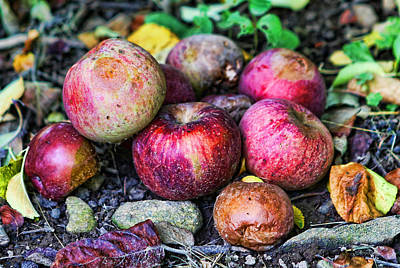 Wild Orchards Photograph - Wild Apples by Lee Dos Santos