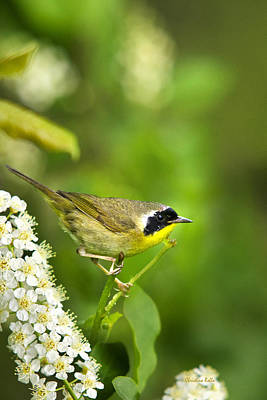 Warbler Photograph - Wild Birds - Male Common Yellowthroat Warbler by Christina Rollo