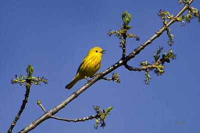 Warbler Photograph - Wild Birds - Yellow Warbler by Christina Rollo