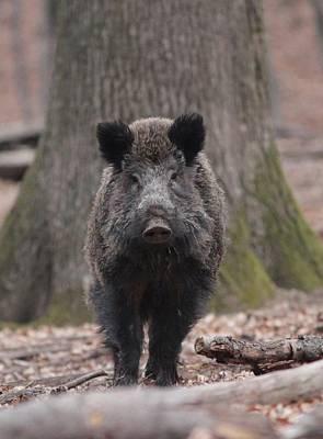 Photograph - Wild Boar by Dragomir Felix-bogdan