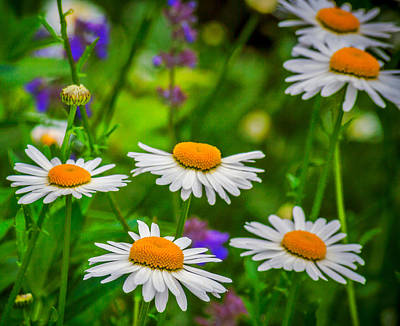 Flowers Photograph - Wild Daisy by Garvin Hunter