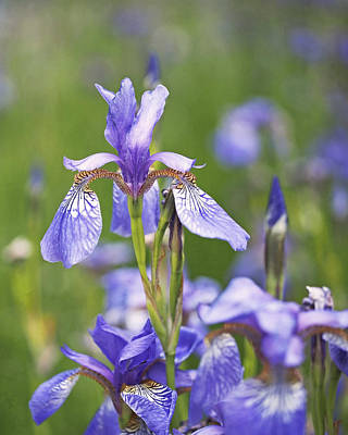 Wild Irises Print by Rona Black