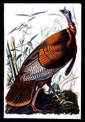 Wild Turkey Drawing - Wild Male Turkey by Celestial Images