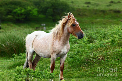 Bodmin Photograph - Wild Pony On Bodmin Moor by James Brunker