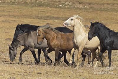 Wild Stallion Herd Pryor Mountain Print by Yva Momatiuk and John Eastcott