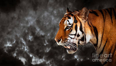 Eye Photograph - Wild Tiger Ready To Hunt On Cloud Black Background by Michal Bednarek