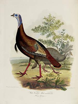 Wild Turkey Photograph - Wild Turkey by British Library