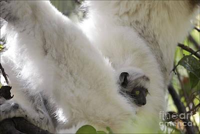 Lemur Photograph - Wild Verreaux's Sifaka With Baby by Liz Leyden