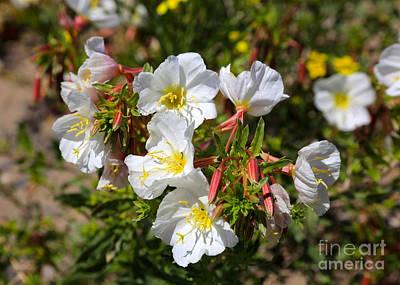 Wildflowers - Pale Evening Primrose Print by Carol Groenen
