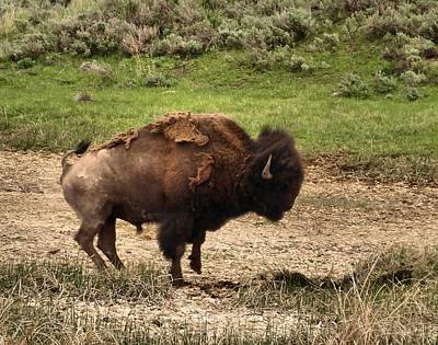 Old West Photograph - Wildlife-angry Bison by Dan Sproul