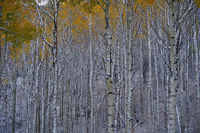 Photograph - Wildridge Aspens by Jeremy Rhoades