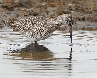 Sandpiper Photograph - Willet by Bill Wakeley