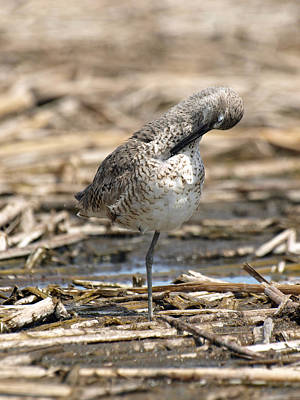 Willet Print by James Peterson