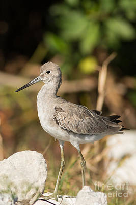Willet Walking Near The Water Print by Natural Focal Point Photography