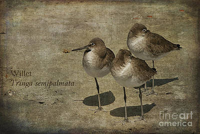 Trio Photograph - Willets by Cindi Ressler