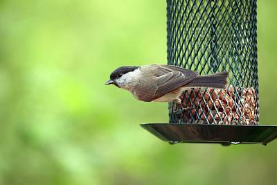 Willow Tit On A Bird Feeder Print by Simon Booth