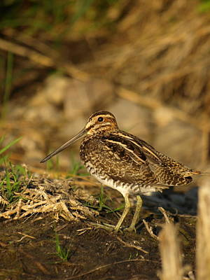 Woodcock Photograph - Wilson's Snipe by James Peterson