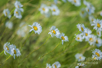 White Flower Photograph - Wind In The Daisies by Diane Diederich