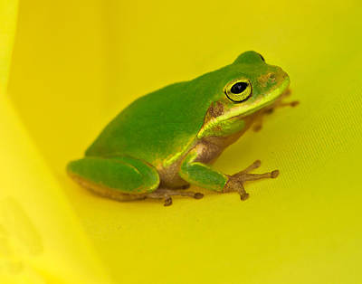 Bottomlands Photograph - Windsock Treefrog by William Richhart
