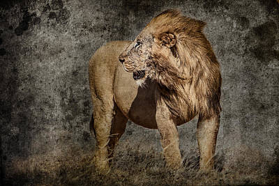 Windswept Lion Print by Mike Gaudaur