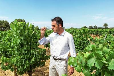 Wine Expert In A Vineyard Print by Philippe Psaila