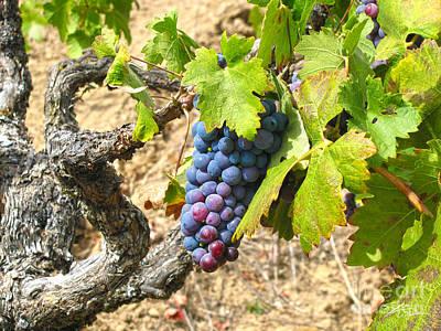 Vineyard Mixed Media - Wine Grapes I by Shari Warren