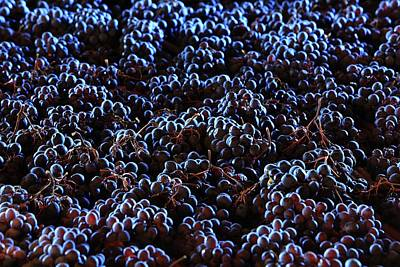 Wine Grapes Print by Mauro Fermariello