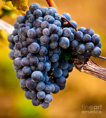 Wine Harvest Merlot Grapes Print by Iris Richardson