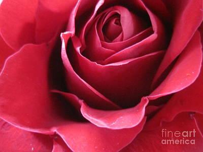 Luminous Drawing - Wine Rose 6 by Tara  Shalton