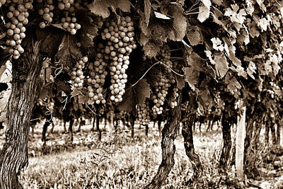 Grapevine Photograph - Wine Stages - Toned by Georgia Fowler