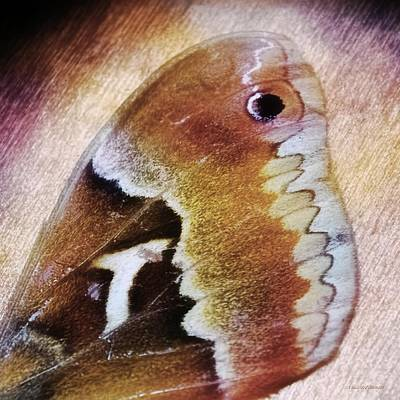 Wing Of A Moth Print by Melissa Bittinger