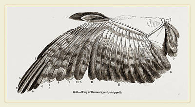 Buzzard Drawing - Wing Of Buzzard by Litz Collection