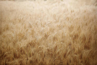 Winsome Wheat Print by Amy Tyler