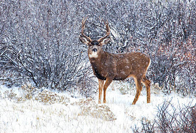 Winter Scenes Photograph - Winter Buck by Darren  White
