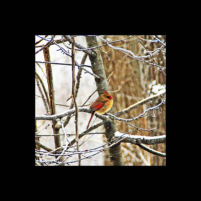 Wildlife Photograph - Winter Cardinal  by Aimee L Maher Photography and Art Visit ALMGallerydotcom