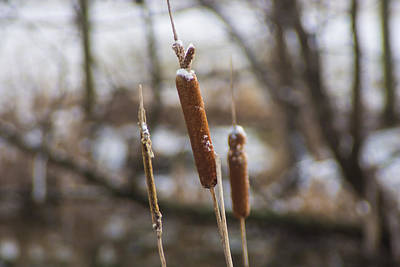 Cattail Photograph - Winter Cattails by Photographic Arts And Design Studio