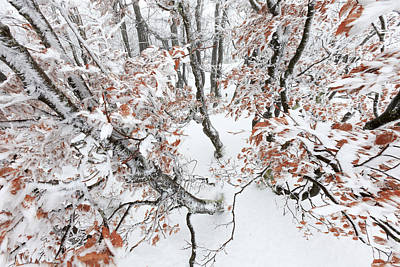 Winter European Beech Forest In Vosges Print by Heike Odermatt