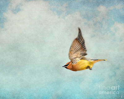 Cedar Waxwing Photograph - Winter Flight by Jai Johnson