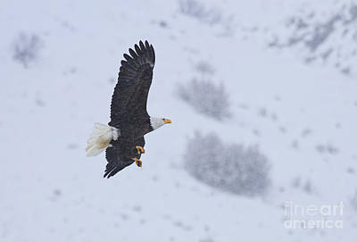 American Bald Eagle Photograph - Winter Flight by Mike  Dawson