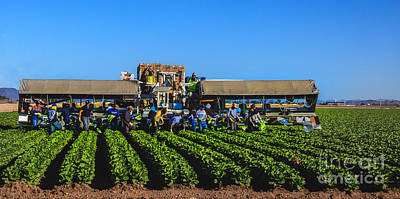 Romaine Photograph - Winter Lettuce Harvest by Robert Bales