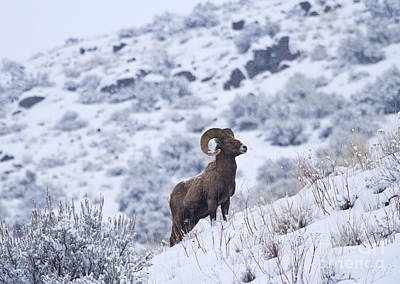 Snowstorm Photograph - Winter Ram by Mike  Dawson