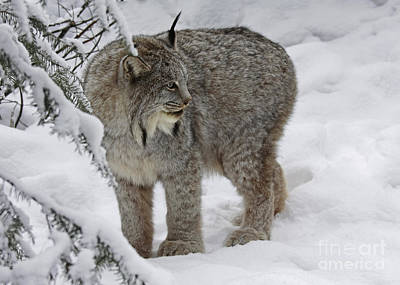 Shelley Myke Photograph - Winter Splendor- Canadian Lynx by Inspired Nature Photography Fine Art Photography
