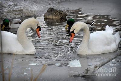 Photograph - Winter Swans  by Gary Keesler