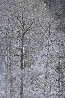 Winter Trees Print by Sharon Talson