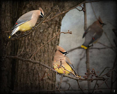 Cedar Waxwing Photograph - Winter Visitors by Jai Johnson