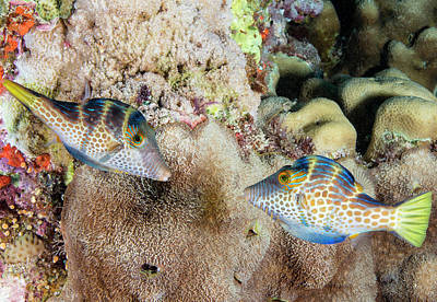 Anthozoa Photograph - Wire-net Filefish Mating Display by Louise Murray